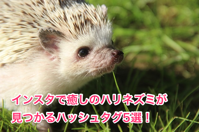 癒しのハリネズミが見つかるハッシュタグ5選!