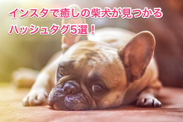 癒しの柴犬が見つかるハッシュタグ5選!
